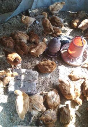 Clinical signs of Newcastle disease