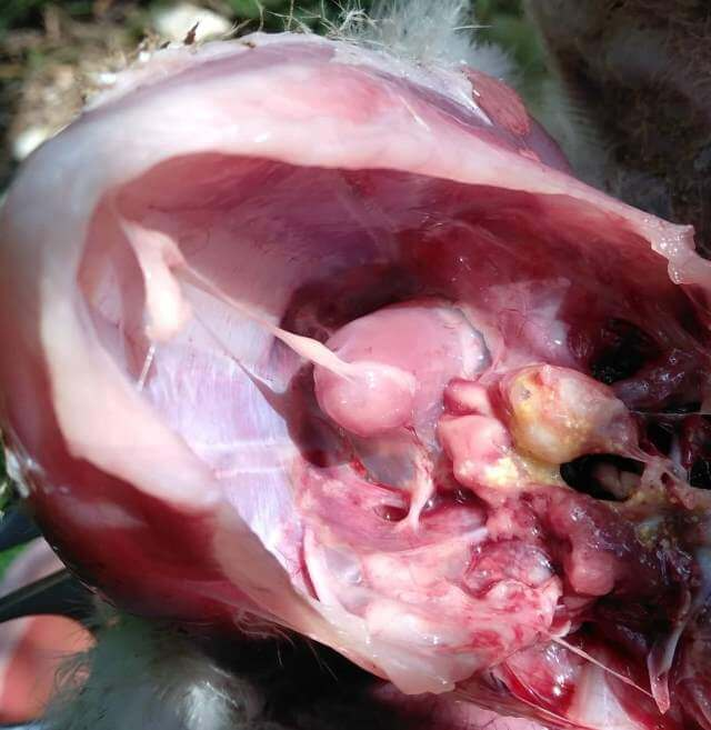 Airsaculitis in Chronic respiratory disease Air Sac Airsac infection in poultry