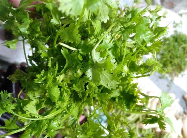 Trachysermum Ammi used for the treatment of indigestion in chicken