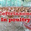 Ceftriaxone In Poultry