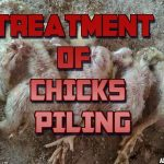 TREATMENT OF CHICKS PILING
