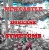 CHICKEN  NEWCASTLE DISEASE SYMPTOMS