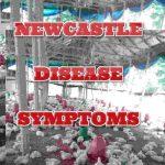 NEWCASTLE DISEASE SYMPTOMS Secrets You Never Knew