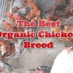 OMG! The Best ORGANIC Egg CHICKEN BREED Ever