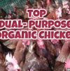 TOP ORGANIC DUAL PURPOSE CHICKEN BREEDS
