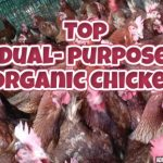 TOP ORGANIC DUAL PURPOSE CHICKEN BREEDS