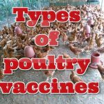 Essential TYPES OF POULTRY VACCINES