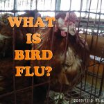 Can You Really Find WHAT IS BIRDS FLU